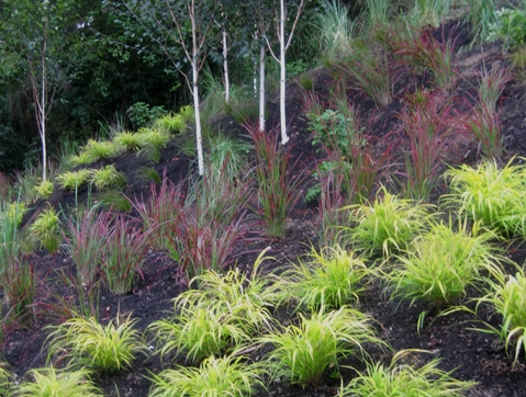 Grasses planted by Environmental Construction Inc. in Kirkland WA